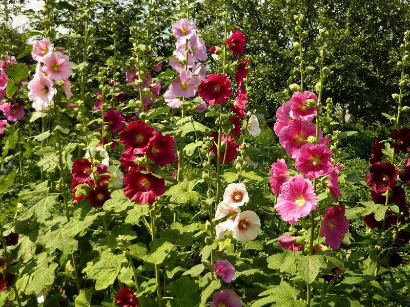 Цветы мальва картинки 3