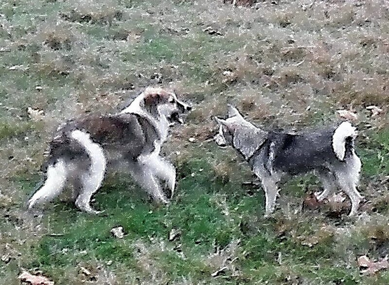 Собачья игра