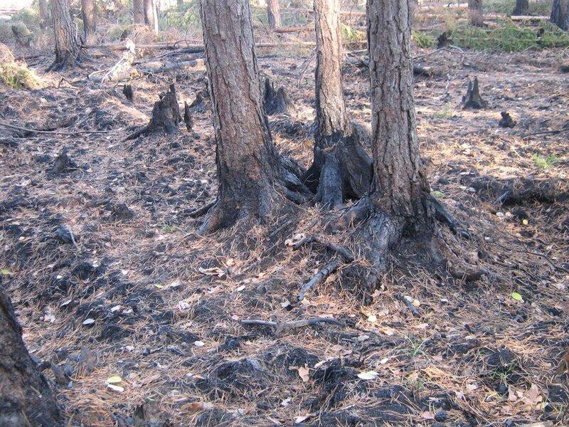 лес после пожара -4