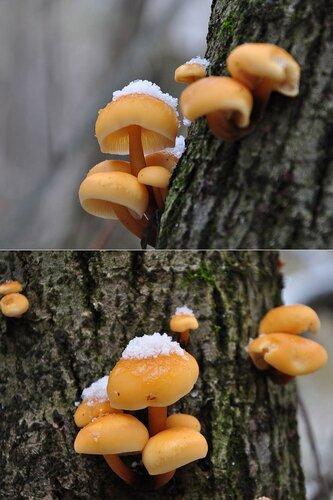 Опенок зимний (Flammulina velutipes) Автор фото: Владимир Брюхов