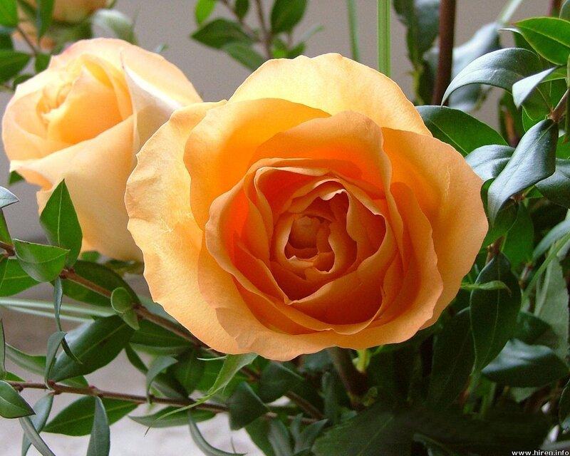 Обрезка плетистых роз весной 5