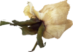 creme_rose_dried3.png