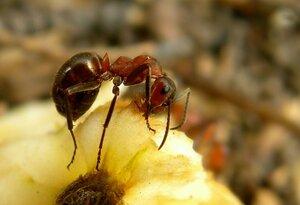 Трапеза муравья.