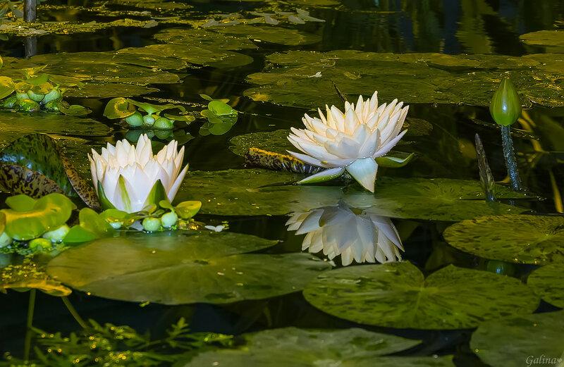 Царица вод - красавица кувшинка