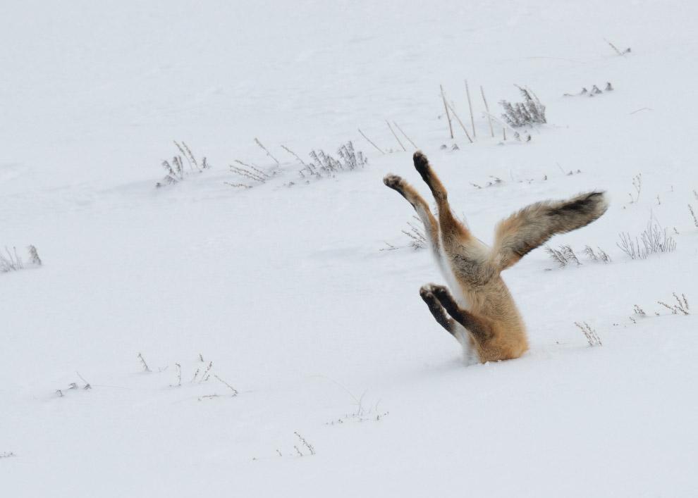 14.Тяни-Толкай. (Фото George Dian Balan   Comedy Wildlife Photography Awards 2016):