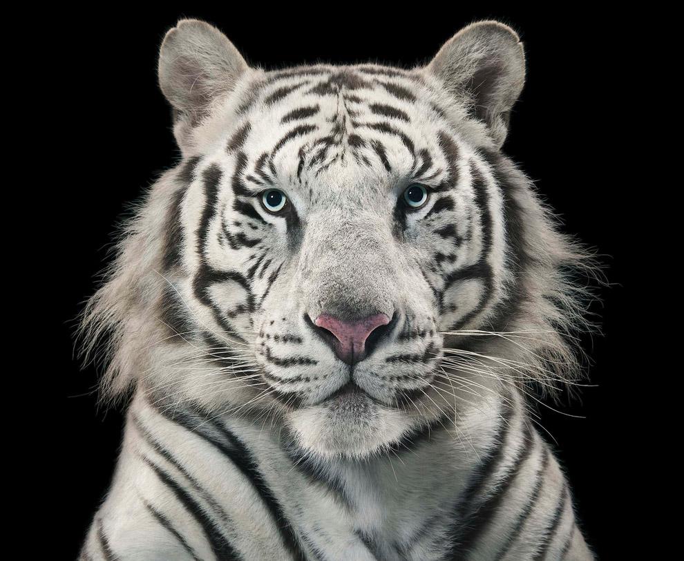 24. Золотой тигр.