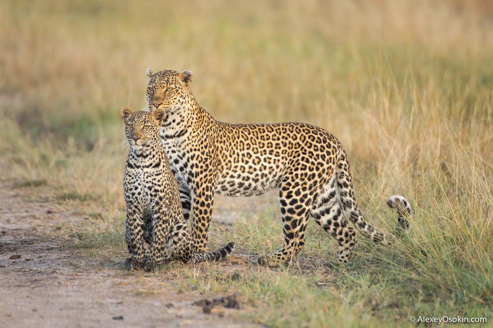 Маленький леопард: