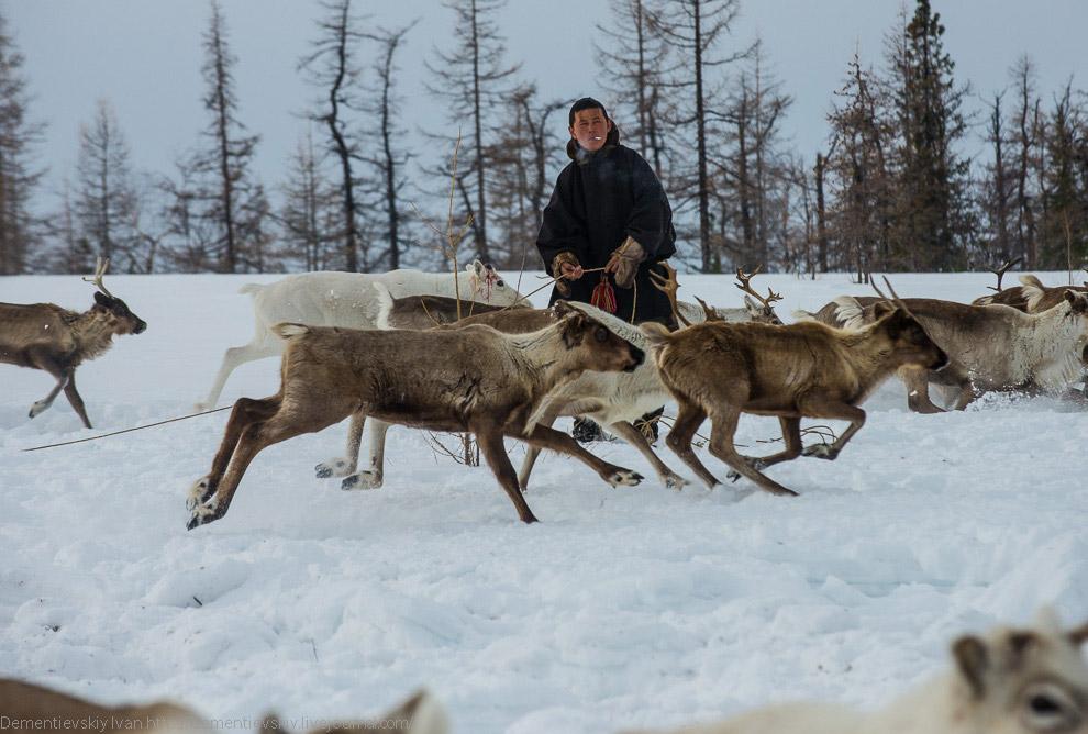 Один парень на снегоходе гонял стадо, стараясь направить оленей поближе к метающим верёвку мужи
