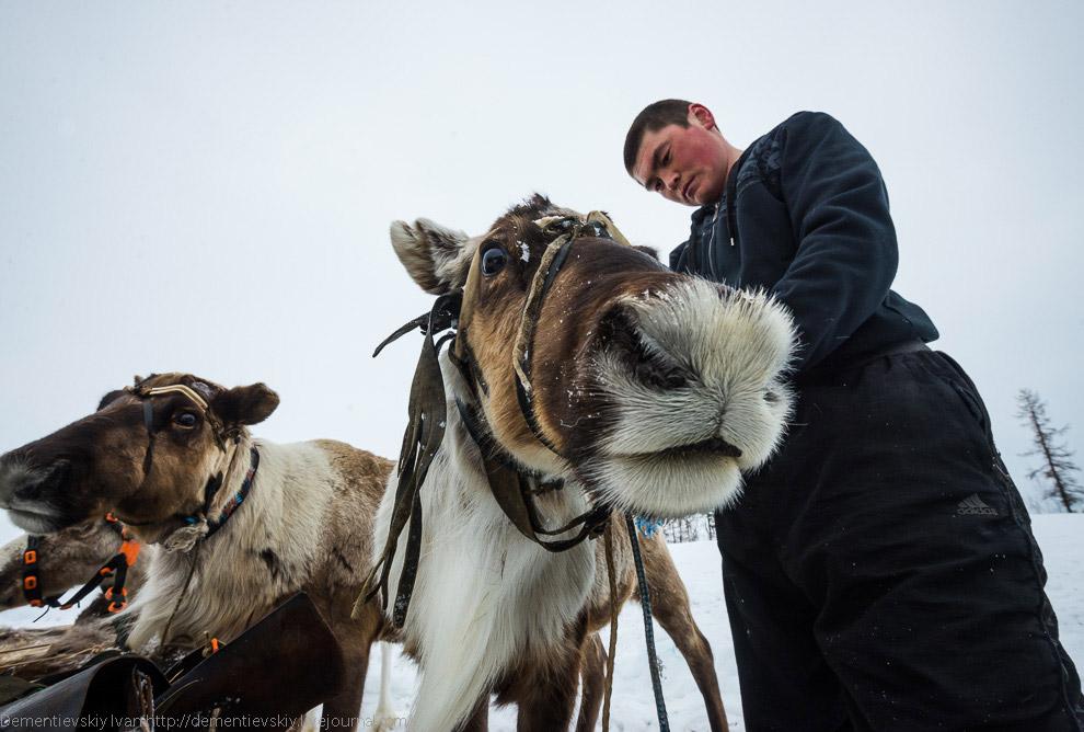 К концу этого шоу олени, которых гоняли снегоходом, настолько устали, что останавливались прямо