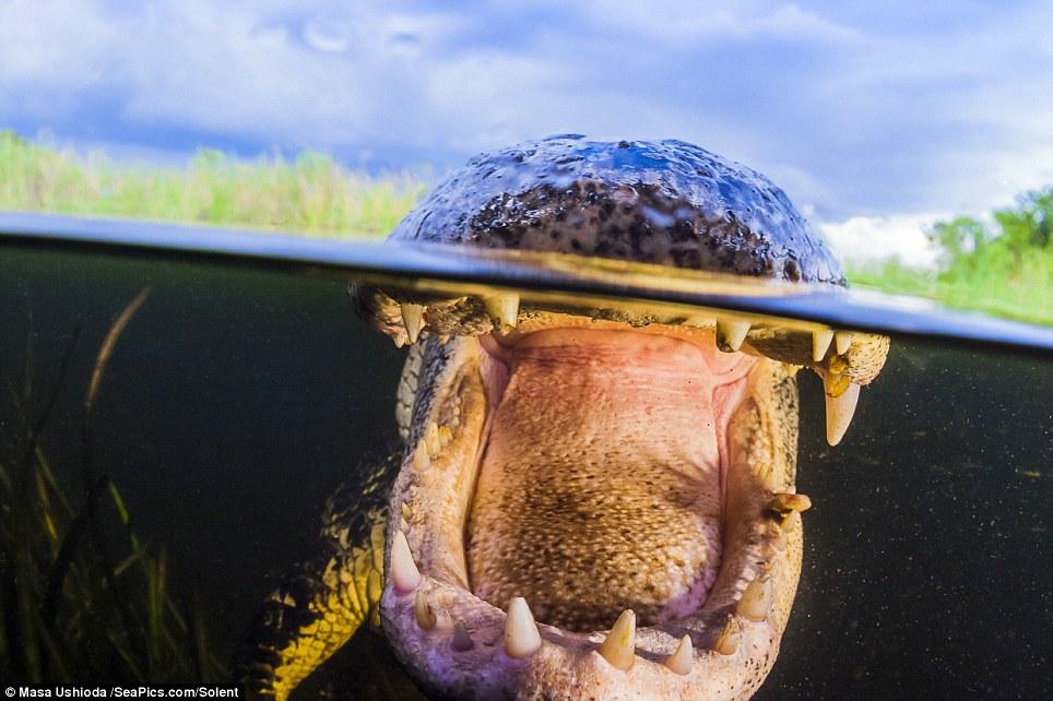 Взрослые самцы американских аллигаторов достигают 3.5-4.6 метров в длину и могут весить 450 кг.