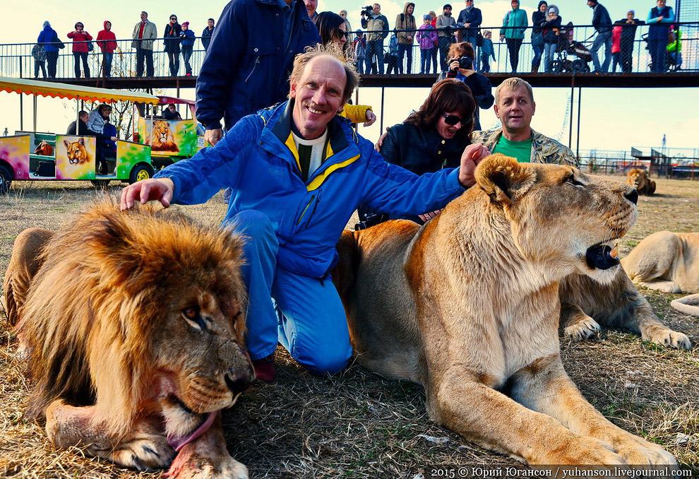 Львы начинают облизываться. Сейчас будут кормить