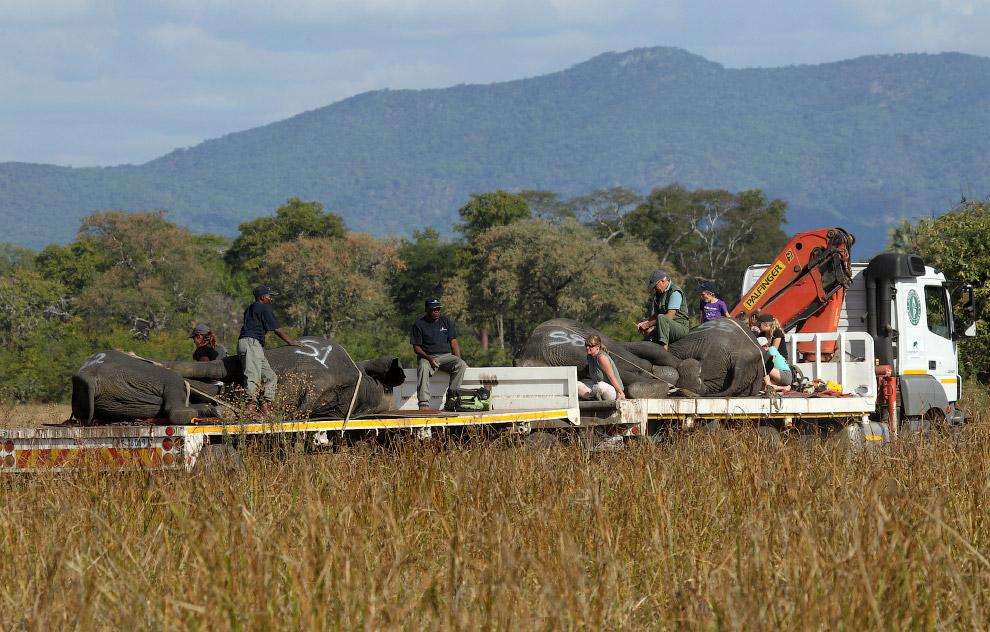 9. Измерения. Уши слона — идеальная естественная маска для сна. (Фото Tsvangirayi Mukwazhi):<br
