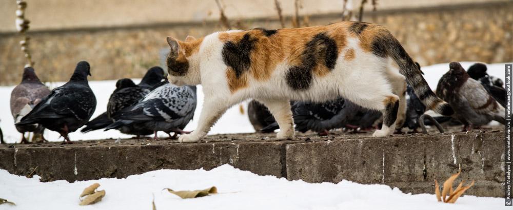 кошка гуляющая среди голубей