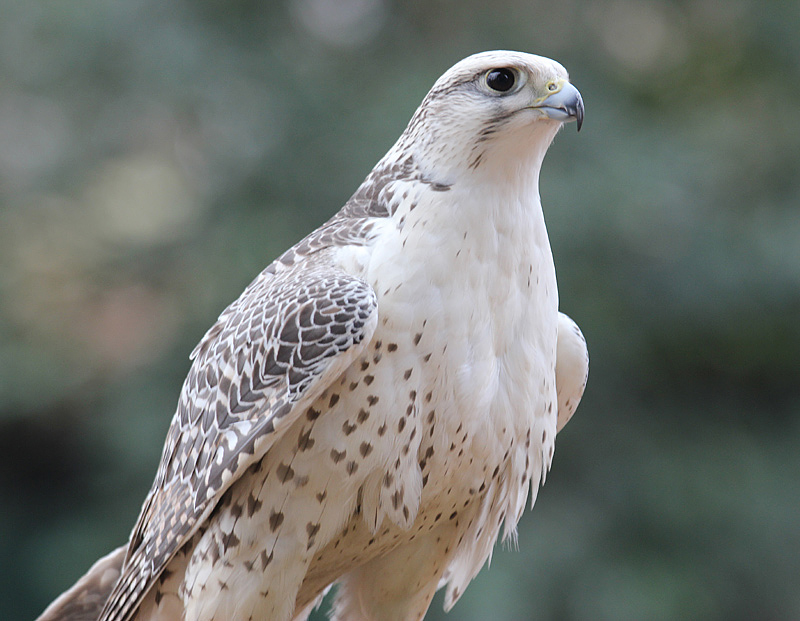 Gyrfalcon_ready_to_fly_w.jpg