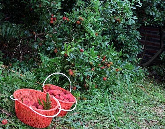 Китайская ягода