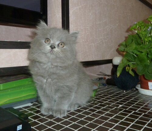 Британские котята из питомника Camelot Castle 0_111680_3ab3ddee_L