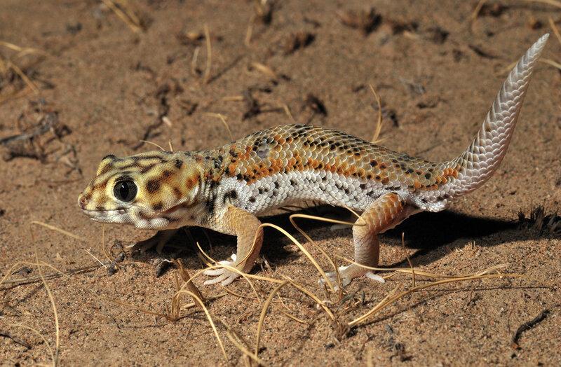 сцинковый геккон особенности содержания