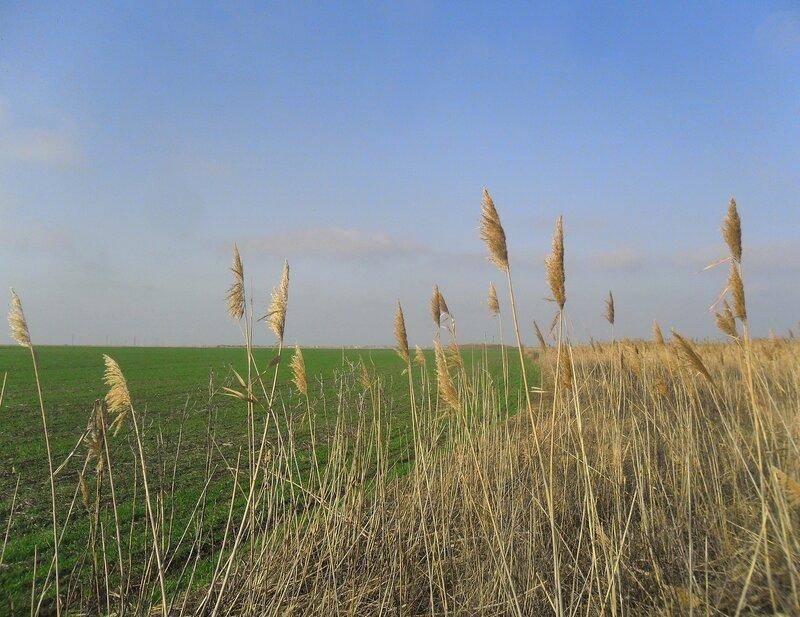 Камыш у поля... SAM_5503.JPG