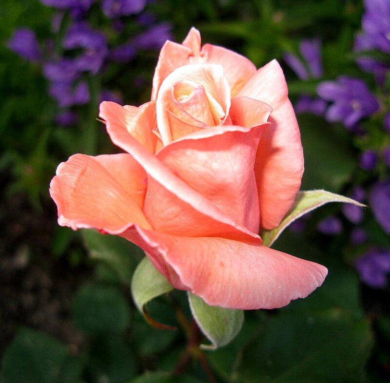 набор определить сорт розы по картинке можете быть согласны
