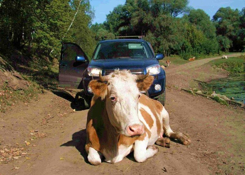 Край непуганых коров