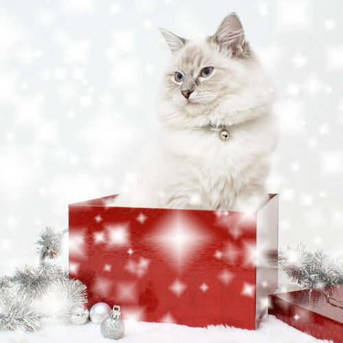 snowy ragdoll gift