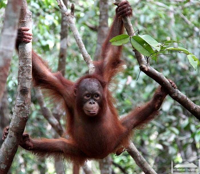картинка обезьяна на ветке
