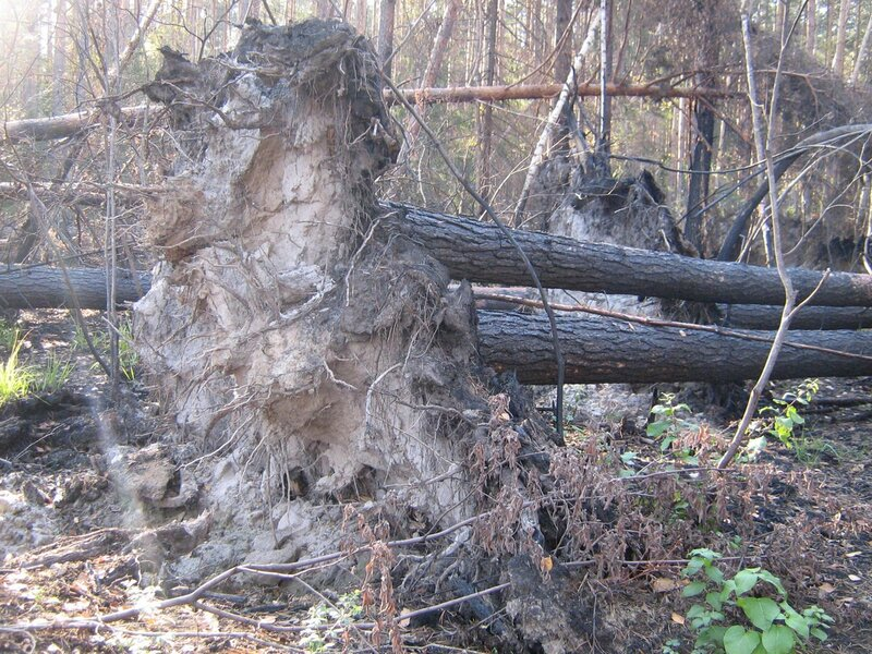 лес после пожара - 6