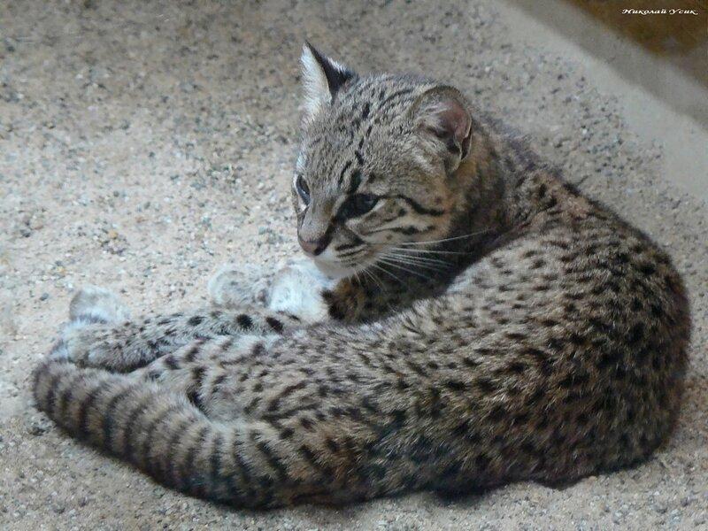 Кошка жоффруа