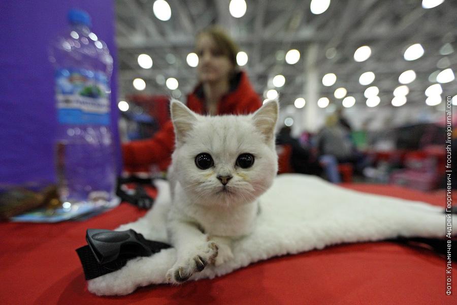 Котенок Шотландская короткошерстная фотографии выставка кошек гран при Royal Canin