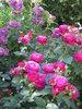 Розы Tantau 2012