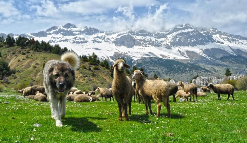 Кавказская овчарка незаменима вгорах, где есть иволки, имедведи.