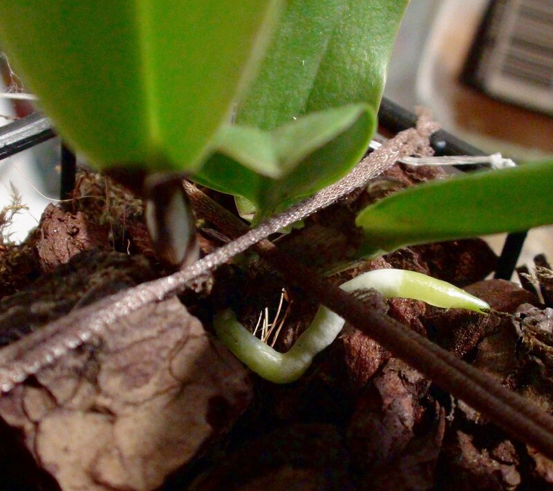 Cattleya gaskelliana (подросточек)