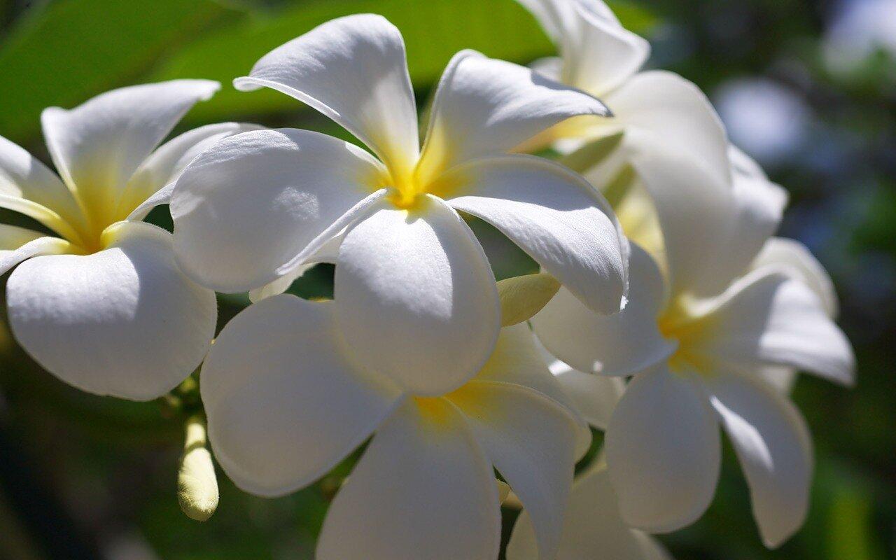 Вриндаванская плюмерия или цветы дерева чампака (чампа)