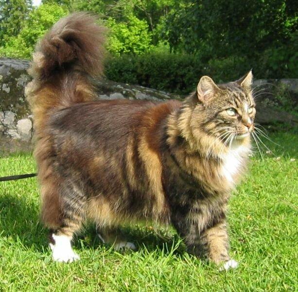 Норвежская лесная кошка. это аборигенная скандинавская порода кошек.