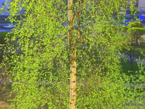 Берёза весной за окном