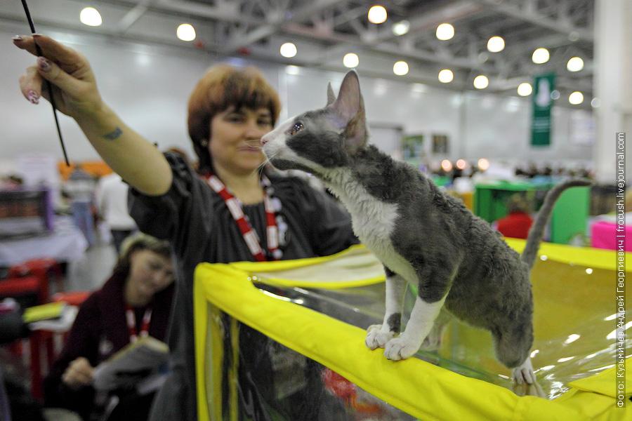 Кошка Xtra Wave Phurfur-Halphas. Корниш-рекс. Родилась 8 февраля 2012 года. Заводчик: Казакова В. Владелец: Казакова В.
