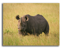 Кения. Black Rhino standing in the grass, Masai Mara, Kenya. Фото  wrobel27 - Depositphotos