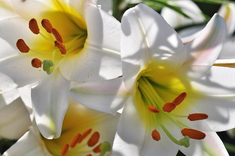 Вдыхая запах лилий белых