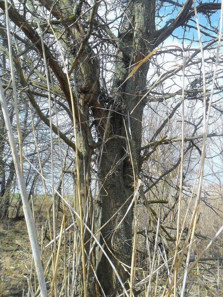 Дерево колючее .... SAM_5808.JPG