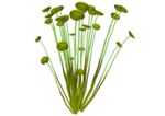 SD NV SEA PLANT 4.png