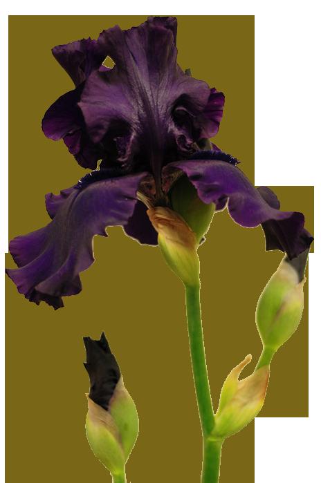 Уход за ирисом Ирисы- многолетние корневищные цветки.