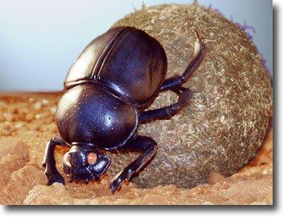 навозный жук, самые большие насекомые