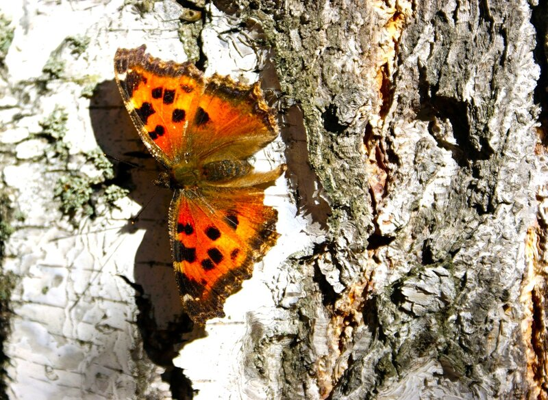 Бабочка на березе