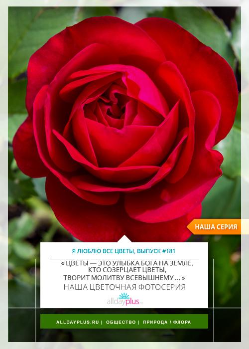 Я люблю все цветы, выпуск 181 | Роза - «Королева цветов».