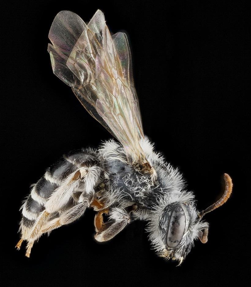 Макрофотографии разноцветных американских пчел 0 13d2ba edf6e561 orig