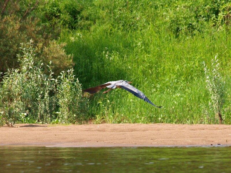 Взлёт серой цапли (Ardea cinerea) на берегу Вятки 4