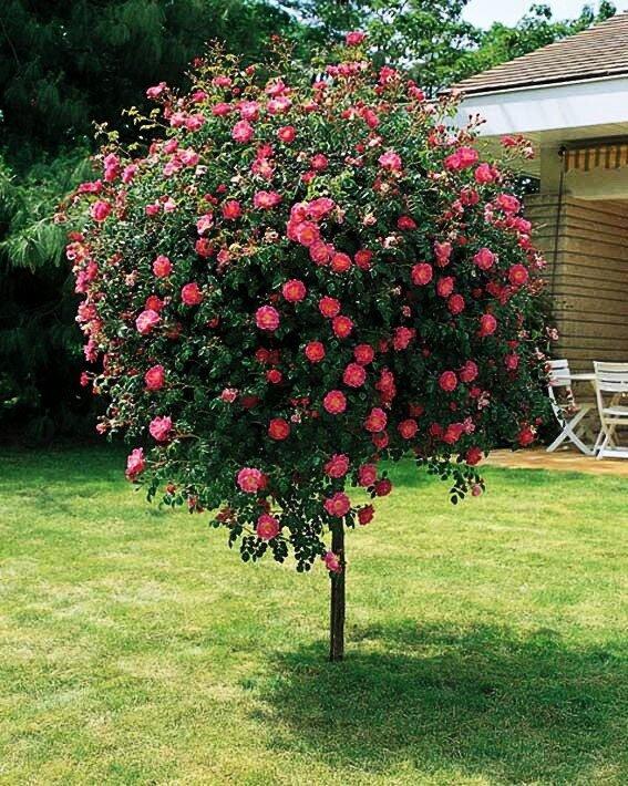 замечательных роза розовое дерево фото и описание вам понравится какой-либо