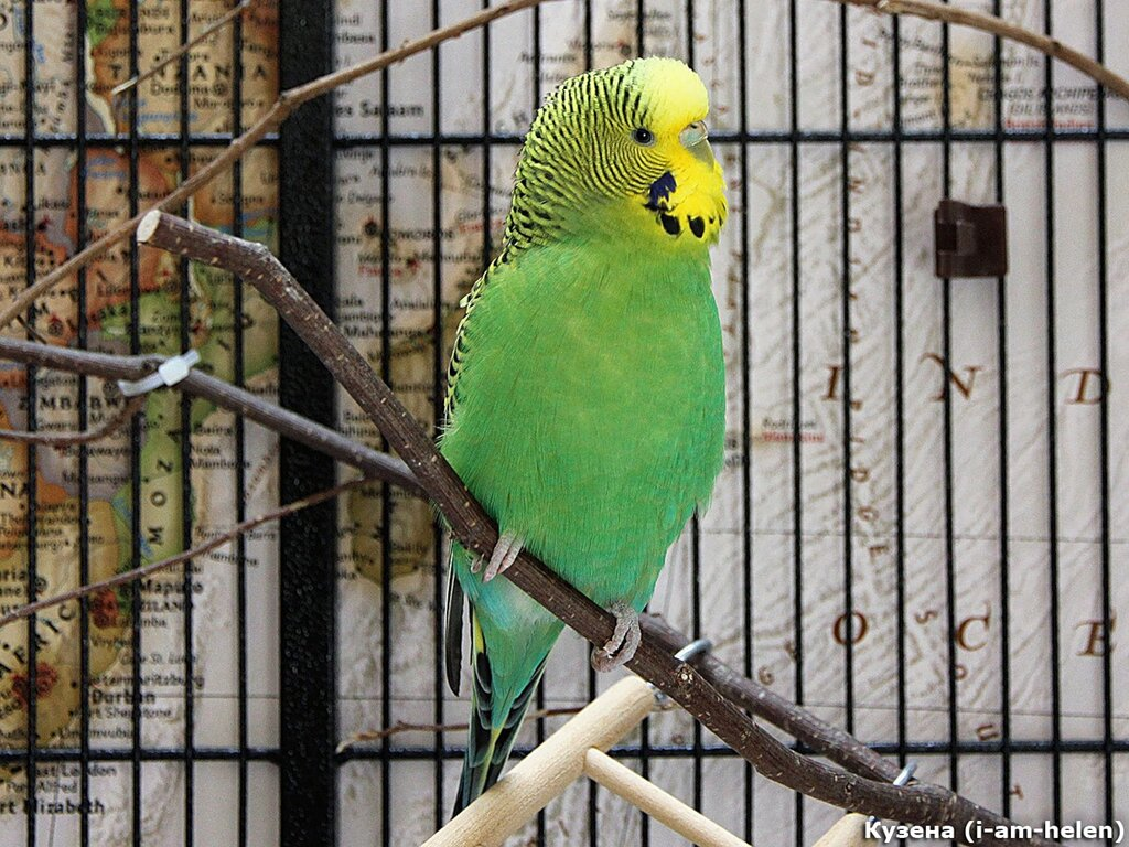Фото волнистых попугаев разных окрасов