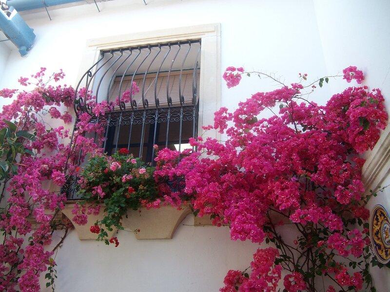 Цветёт бугенвиллия