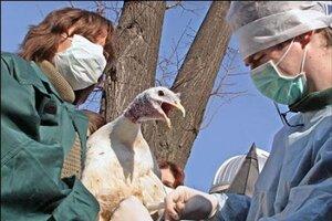 В Приморье завершается вакцинация домашней птицы